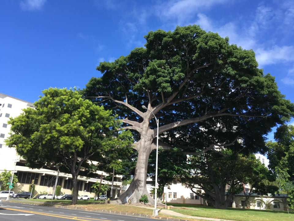 キーアウモクストリート(Keeaumoku Street)沿いで見つけた大きな木